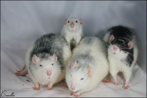 mes rats by Camellia