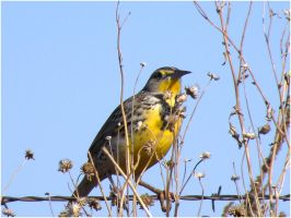 Meadowlark by SuicideBySafetyPin