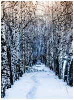Winter Birch Forest by OrangeRoom