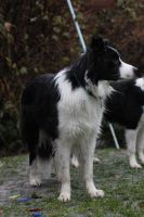 Collie Dogs 24 by Tasastock