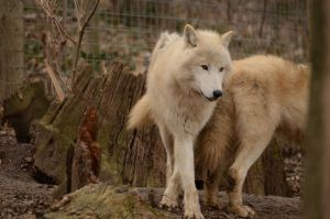 White Wolf 45 by Lakela