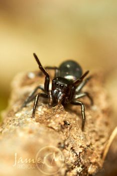 Jumping Spider 69 by JamesMedlin
