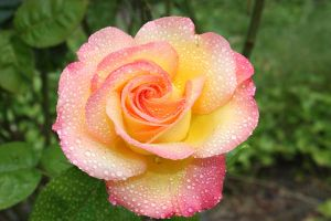 yellow pink rose mist by bluedragoneye