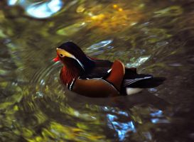 Duck by simple-squamous