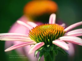 Coneflower Echo by Karl-B
