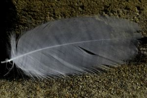 Fallen Feather by Clangston
