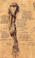 Anatomical Study - Arm by crackheadbarbie