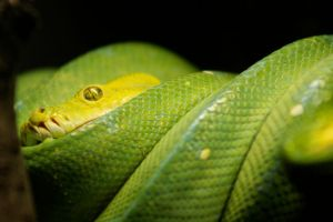Yellow Snake by lastdrop
