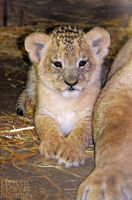 Little Lion by brijome