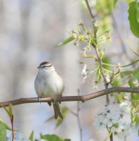 Chipping Sparrow by Rjet33