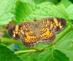Pearl Crescent by duggiehoo