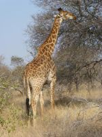Giraffe by Windstern