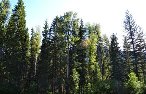 STOCK - Coniferous Forest 3 by jocarra