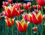 Tulips 3 by zaphotonista