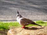 Crested Dove by Forbidden-Lover