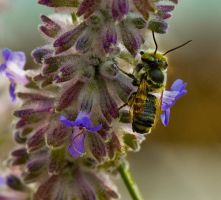 Bee on Dog Violets by boron