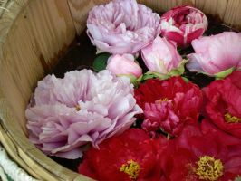 Barreled Paeonia Suffruticosas by freyiathelove