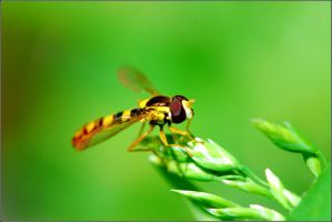 Hoverfly by sandxr
