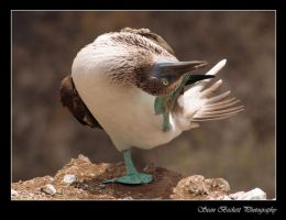 Blue-Footed Booby by seanbeckettvt