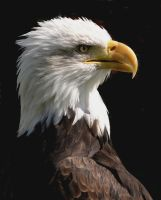 Bald Eagle by Canis-Lupess