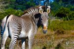 Male Grevy by Pretty-Planet
