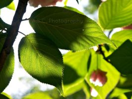 Spring Leaf by ASCPhotos