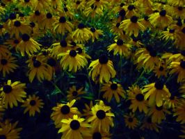 big yellow daisies by st2wok