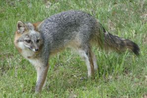 Gray fox by Lupineleigh