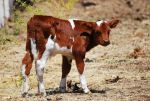 Calf by mt-stock