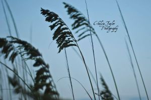 Sea Oats by cheslah