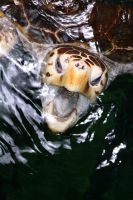 Sea Turtle by sunsetchaser