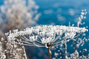 Icy umbel by duncan-blues