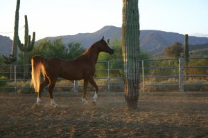 Saguaro Stallion by KTLasair