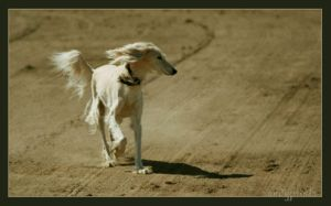 saluki 2 by sandyprints