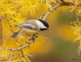 Chickadee in Tamarack by Les-Piccolo