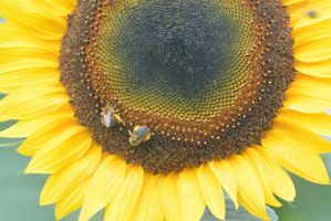 Pollen Station, Bees and Sunflower 7 by Miss-Tbones