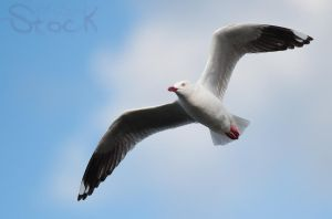 Seagull 14 by 88-Lawstock
