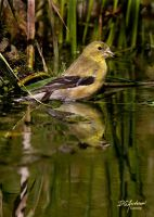 A wading goldfinch by DGAnder
