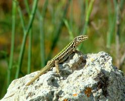 Proud  Gozo Male by Faunamelitensis