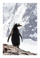 Gentoo Penguin 1 by MadHatterVVVI
