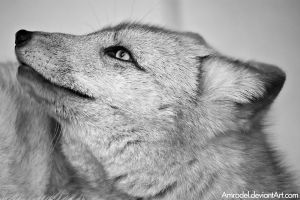 Arctic Fox BW by amrodel