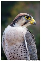 251 - Lanner Falcon by absurdus