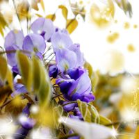 Wisteria Orchestra by kumArts