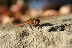 Little Dragonfly by serel