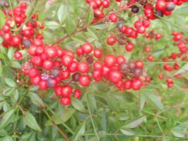Red berries by looking-for-hope