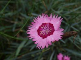 Dianthus by buffyka