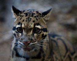 Clouded Leopard 2 Print by ST77
