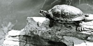Black-white turtle by Clarctic