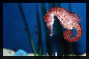 A Sea Horse by MissNight