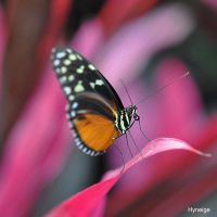 Papillon sur le rose by hyneige